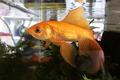 金魚。きれいに撮影できました^^