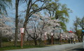 鶴岡公園さくら2014