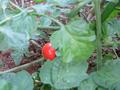 家庭菜園ミニトマト2014