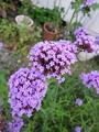 わがやの庭の花々2014初秋(バーベナ)
