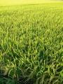 緑の絨毯 庄内平野の田園風景 2014 秋