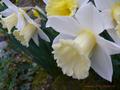 Narcissus(スイセン)2015